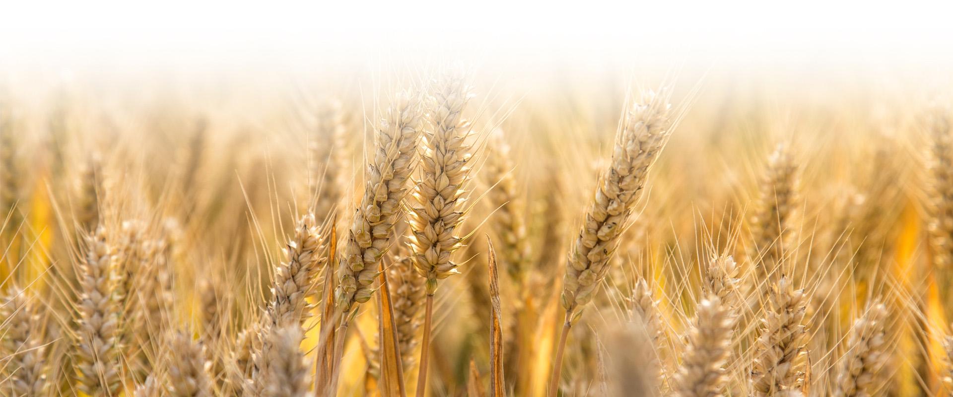 Champ de blé Nutrifrance